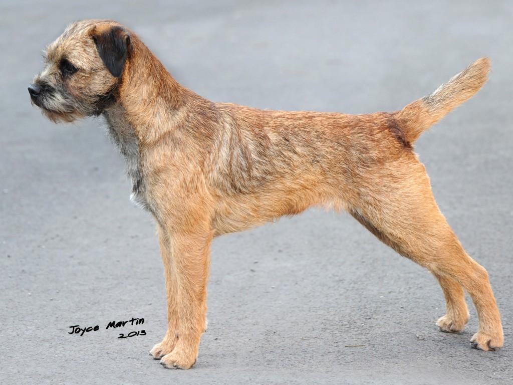 border terrier shows borderterrierorguk