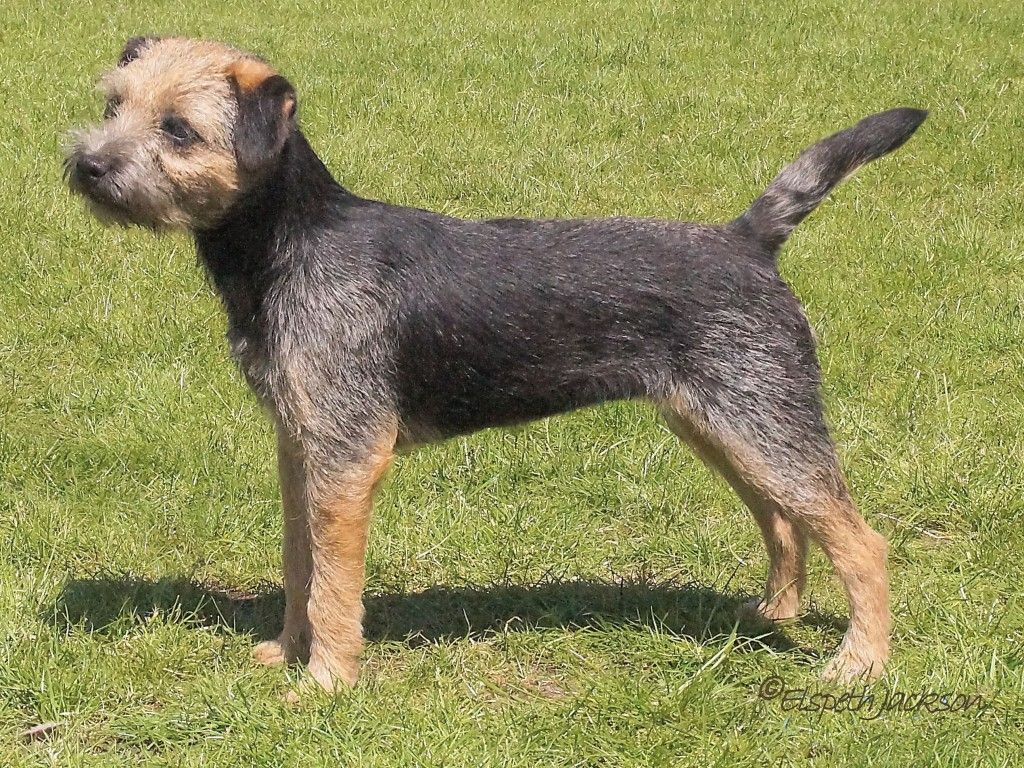 Border Terrier Shows Borderterrier Org Uk
