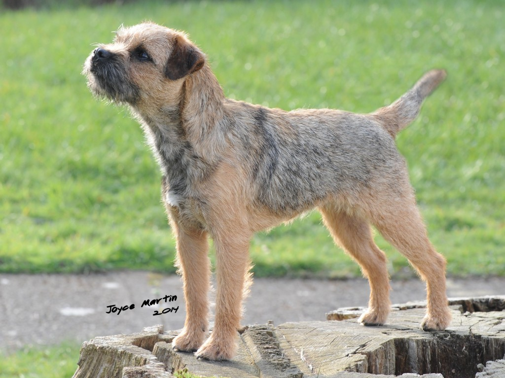 Border terrier club lancashire
