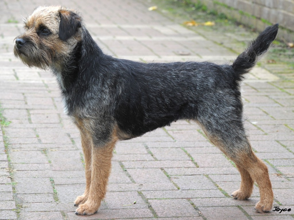 Index Of Pedigree Border Terriers Borderterrier Org Uk
